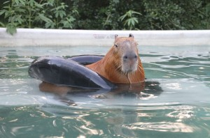 Un simpatico capibara in piscina
