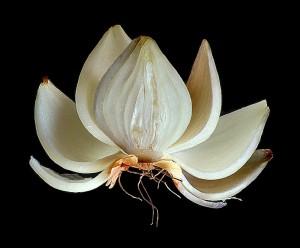 Cipolla fiore