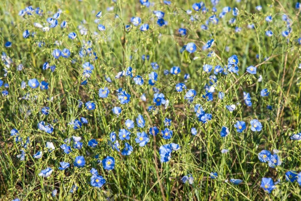 19704729-Prato-con-fiori-di-lino-blu-primavera-giornata-di-sole-Archivio-Fotografico
