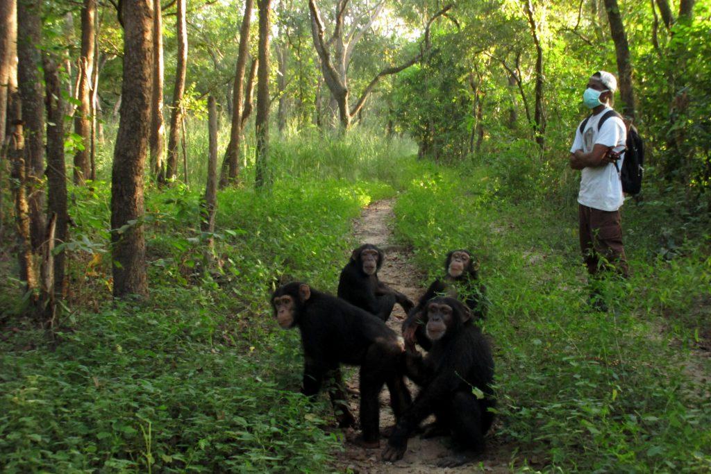 gruppo di scimpanze adolescenti