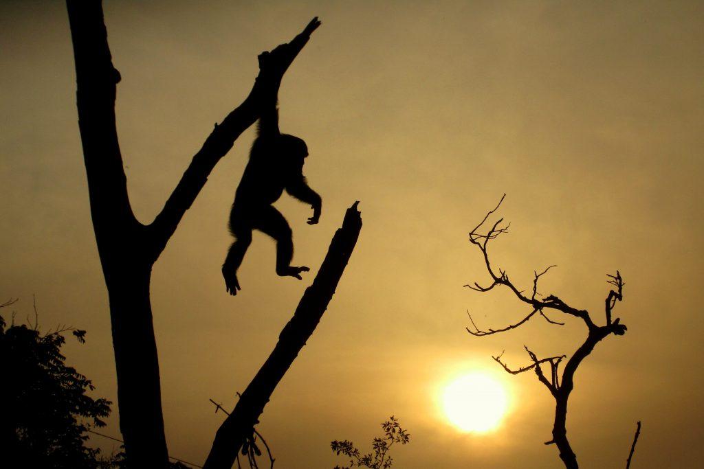 Scimpanze in Guinea