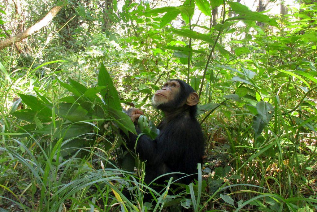 scimpanze 2 anni